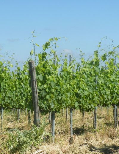 vineyard-nature-ground